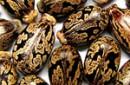 Organic Cleansing Oil Petitgrain Tamanu