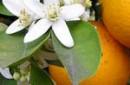 Organic Petitgrain Essential Oil