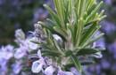 Rosemary essential oil - Organic rosemary oil