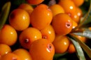 Organic Seabuckthorn CO2 Extract