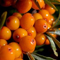 Sea Buckthorn Oil - Sea Buckthorn Oil Benefits for Skin