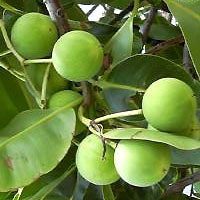 Tamanu nuts possess tissue regenerating properties