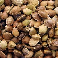 Hemp Seed Oil - Hemp Oil for Skin