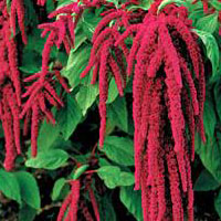 Amaranth Oil - Amaranth Oil Benefits