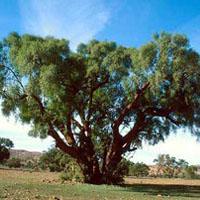 Argan Oil Uses - Argan Oil Benefits