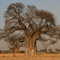 Baobab oil - Baobab oil benefits