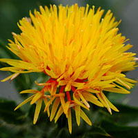 Safflower Oil - Safflower Oil for Skin