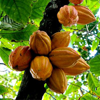 Cocoa Butter | Cacao Butter | Cocoa Butter Benefits