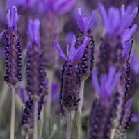 Lavender Oil | Lavender Oil Uses